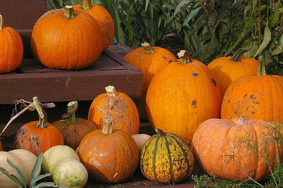 Pumpkins - Several Varieties