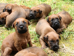 Irish Terrier Welpen erkunden die Welt