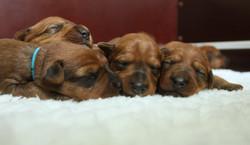 Impressionen aus der Irish Terrier Wurfkiste