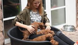 Welchen Irish Terrier Welpen soll ich mitnehmen?