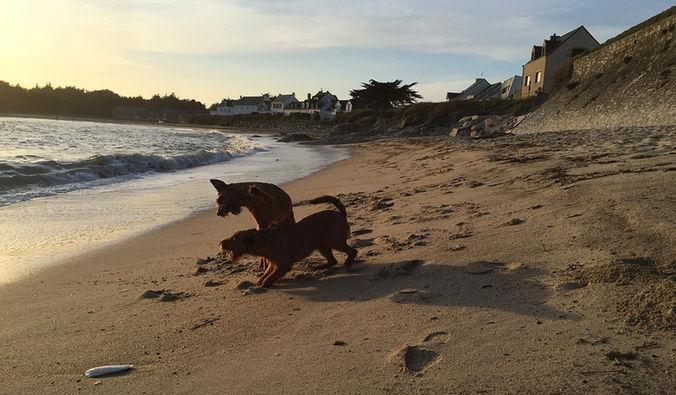 Am Strand haben Irish Terrier viel Spaß