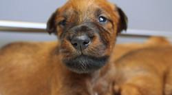 irish-terrier-welpen-woche3-10