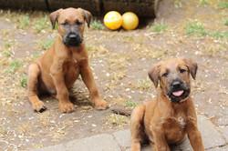 Irish Terrier streckt Zunge raus