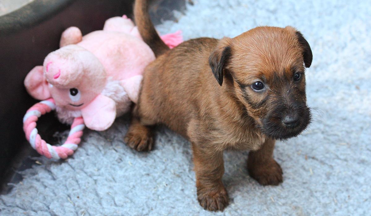 Irish Terrier Welpe zum Verlieben