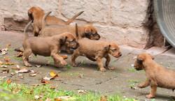 5 agile Irish Terrier Welpen