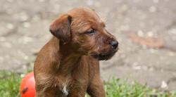 irish-terrier-welpen-woche6-8