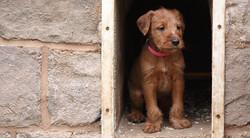 irish-terrier-welpen-woche6-10