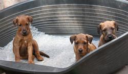 3 Irish Terrier in der Schlafkiste