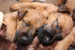 Erschöpfte Irish Terrier Welpen nach dem Spiel
