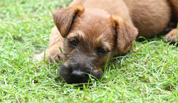 Schöner Irish Terrier Welpe mit super Ohren und tollem Fell