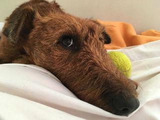 Irish Terrier verstehen jedes Wort, hören aber nicht auf jedes