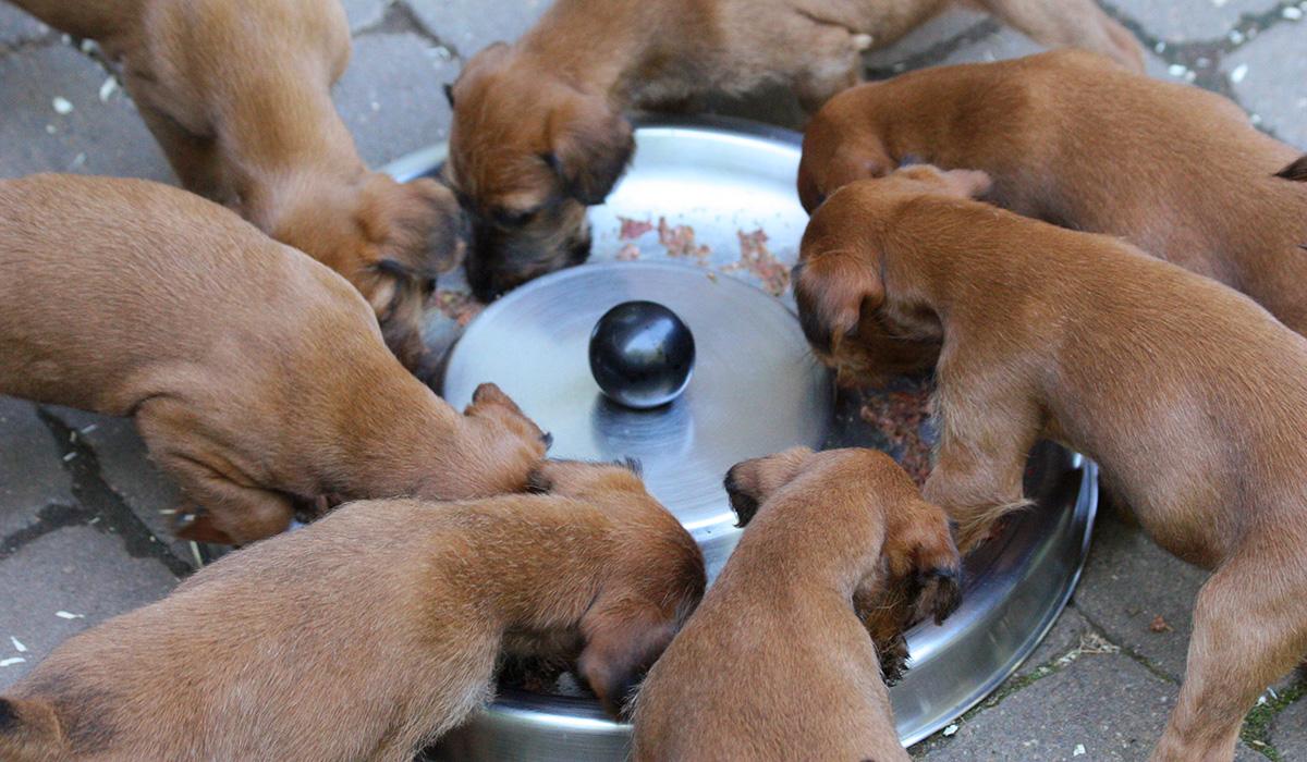 Irish Terrier Welpen sind keine Kostverächter