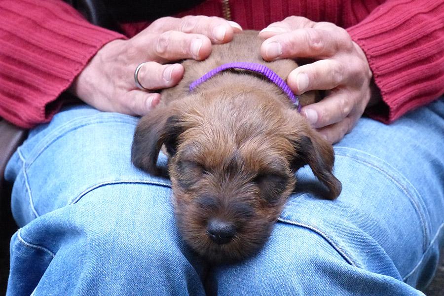 Irish Terrier schläft auf dem Schoß seines neuen Frauchens