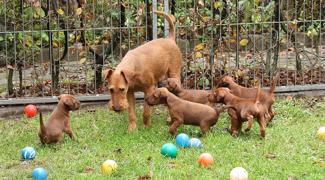 irish-terrier-welpen-woche6-12