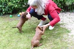 Irish Terrier Welpen lieben Menschen