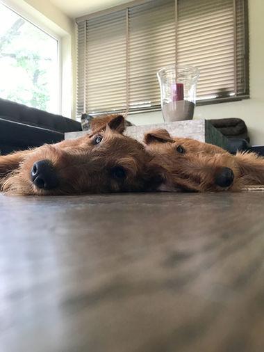 Irish Terrier kuscheln gerne