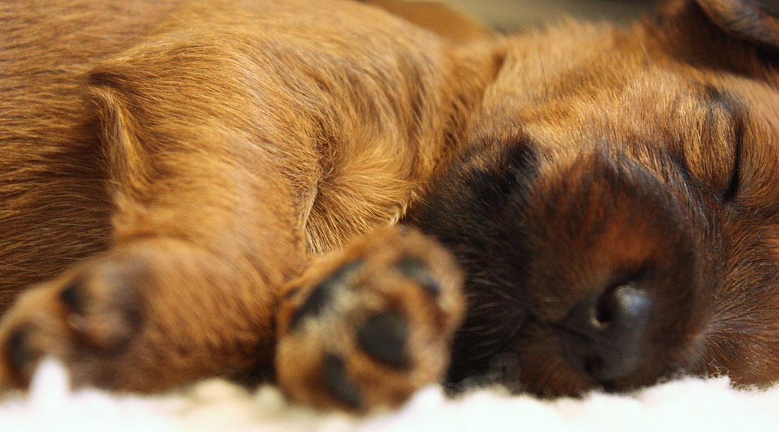 irish-terrier-welpen-woche3-12