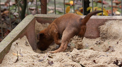 irish-terrier-welpen-woche6-3