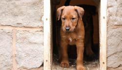 Irish Terrier Welpe mit schöner roter Farbe