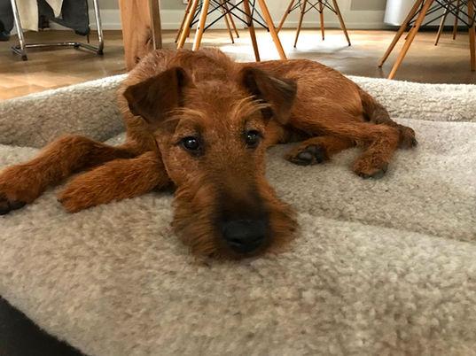 Ein junger Irish Terrier relaxt auf seiner Decke