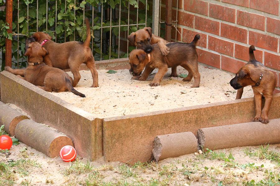 Irish Terrier Welpen spielen im Sand