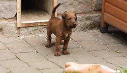 Irish Terrier Welpe mit allerbesten Anlagen