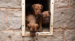 irish-terrier-wurf-woche5-1