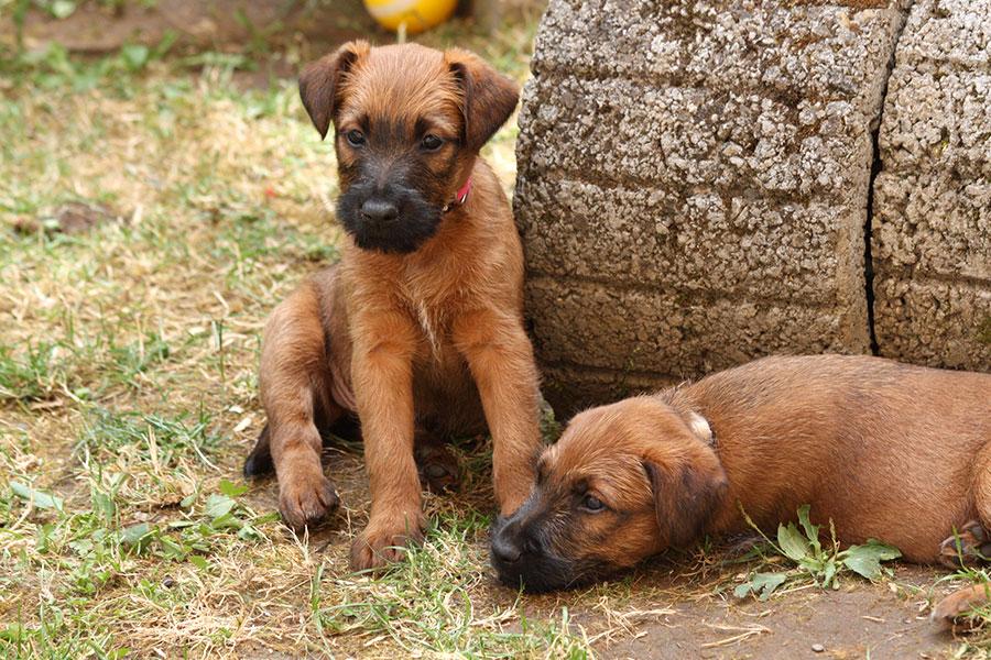 2 ausdrucksstarke Irish Terrier Welpen