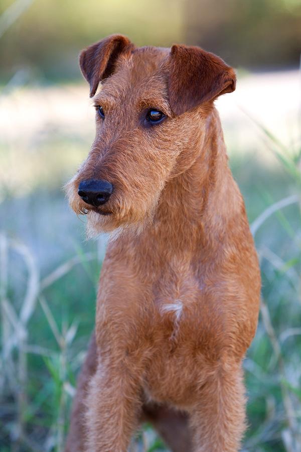 Irish Terrier Hündin Caramel's Valiant Vilma, Poträt