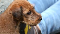 Süßer kleiner Irish Terrier Junge