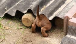 Irish Terrier Welpe kriecht ins Versteck