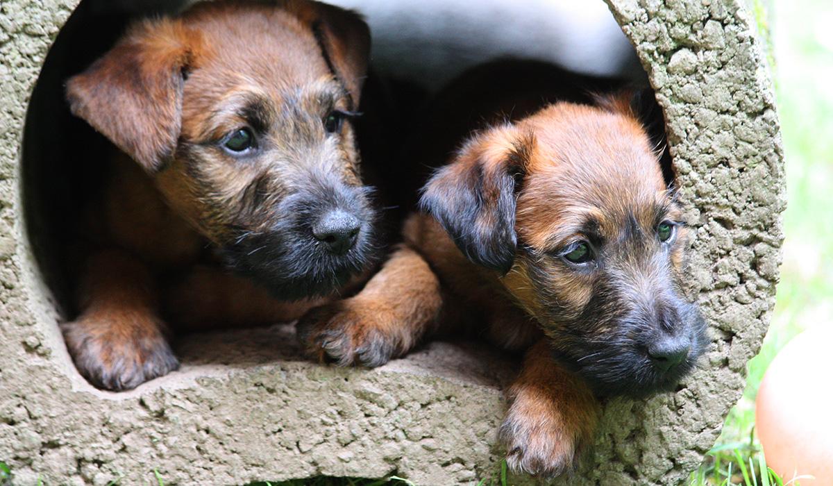 Doppelporträt zweier Irish Terrier Welpen