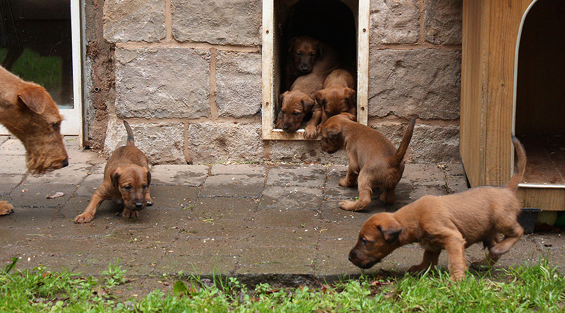irish-terrier-wurf-woche5-14