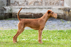 Irish Terrier Hündin Caramel's Terrific Twiggy, Seitenansicht