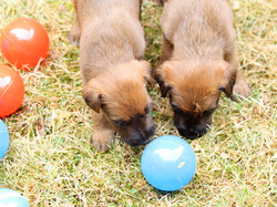 2 Irish Terrier Welpen spielen mit blauem Ball
