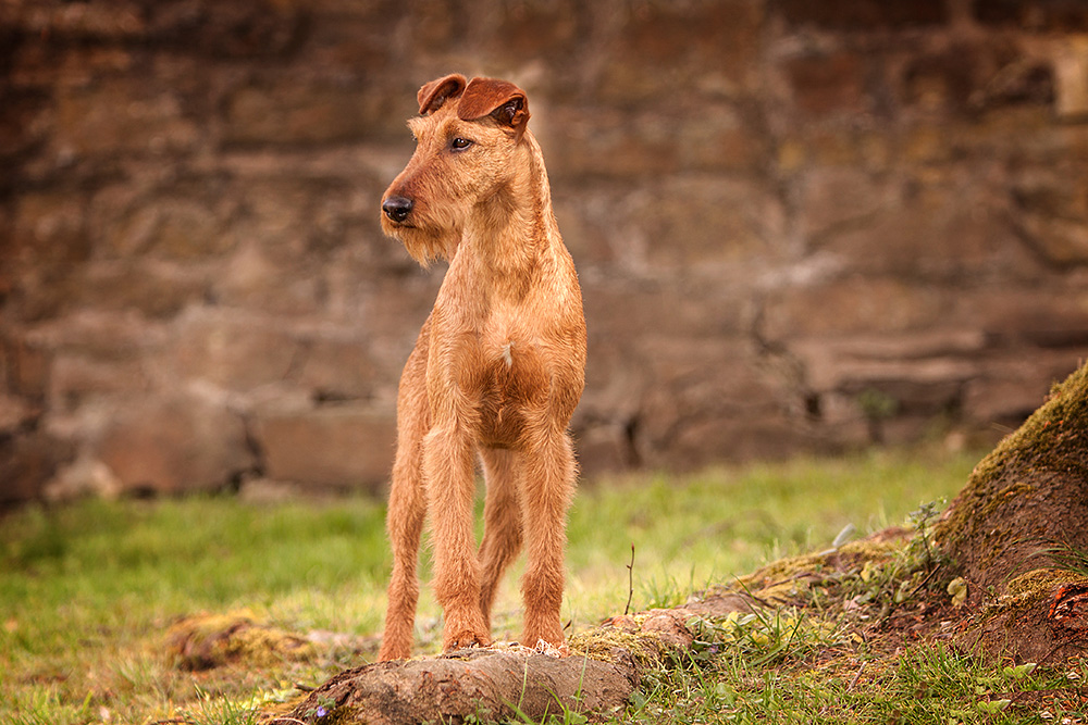 Irish Terrier Hündin OH! Patrick Caramel's American Deam, Porträt
