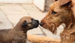 junger und erwachsener Irish Terrier
