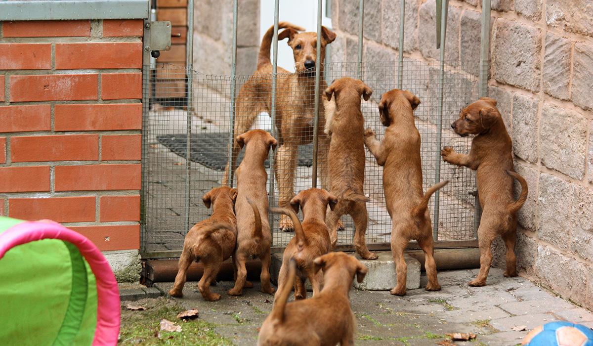 Irish Terrier Welpen mit einer erwachsenen Hündin