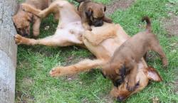 Irish Terrier Hündin spielt mit Welpen