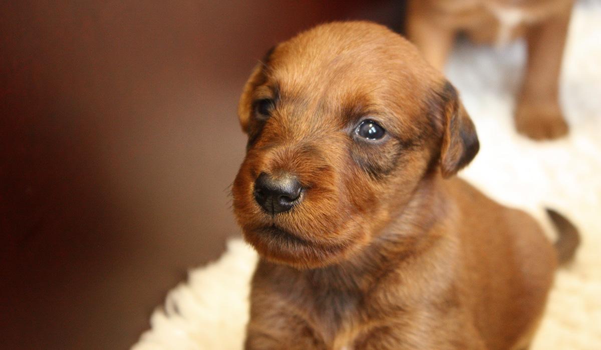 Hoffnungsvoller Irish Terrier Nachwuchs