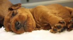 irish-terrier-welpen-woche3-3