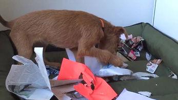 Junge Irish Terrier haben nur Unsinn im Kopf