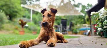 Irish Terrier Guiness hat alles im Blick