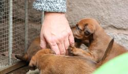 Irish Terrier Welpen sind zutraulich
