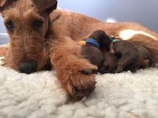 Die stolze Lilo mit ihren Irish Terrier Welpen