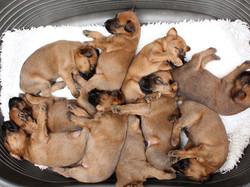 10 Irish Terrier Welpen am schlafen