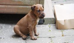 Ein Irish Terrier Welpe beobachtet sein Umfeld