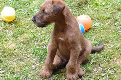 Ein schöner, rassetypischer Irish Terrier Welpe