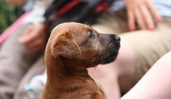 Irish Terrier Welpe hat Besuch