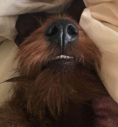 Irish Terrier können fünf auch mal gerade sein lassen